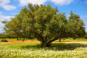 Argan - železno drevo, arganovo olje za kozmetiko