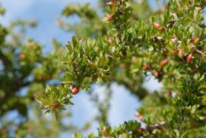 Plodovi argana iz katerih se pridobiva olje za kozmetiko